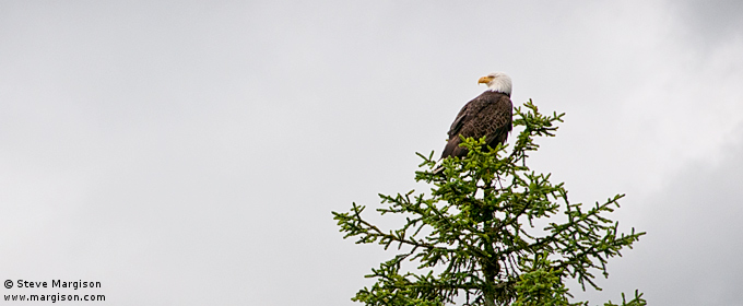 Bald Eagle, Alaska, by Steve Margison Photography - May 13, 2008.